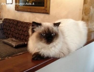 accoppiamento gatto persiano